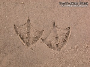 Laughing Gull Tracks