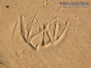 Pelican tracks.JPG