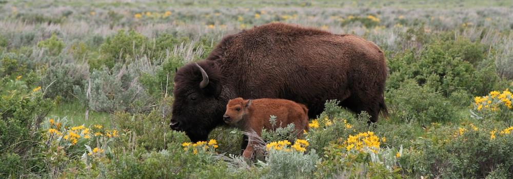 Bison Sign 1