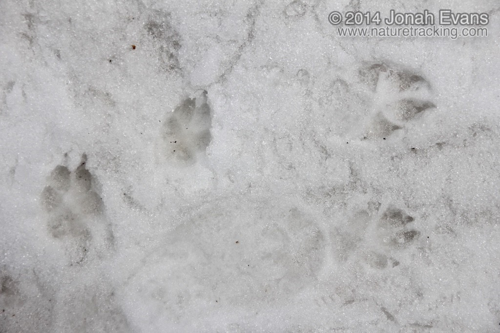 Coyote (Left) and Dog Tracks