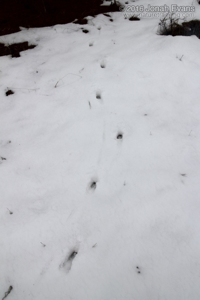 What do cougar tracks look like 10