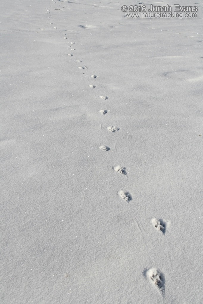 The zigzagging tracks of a house cat walking away.