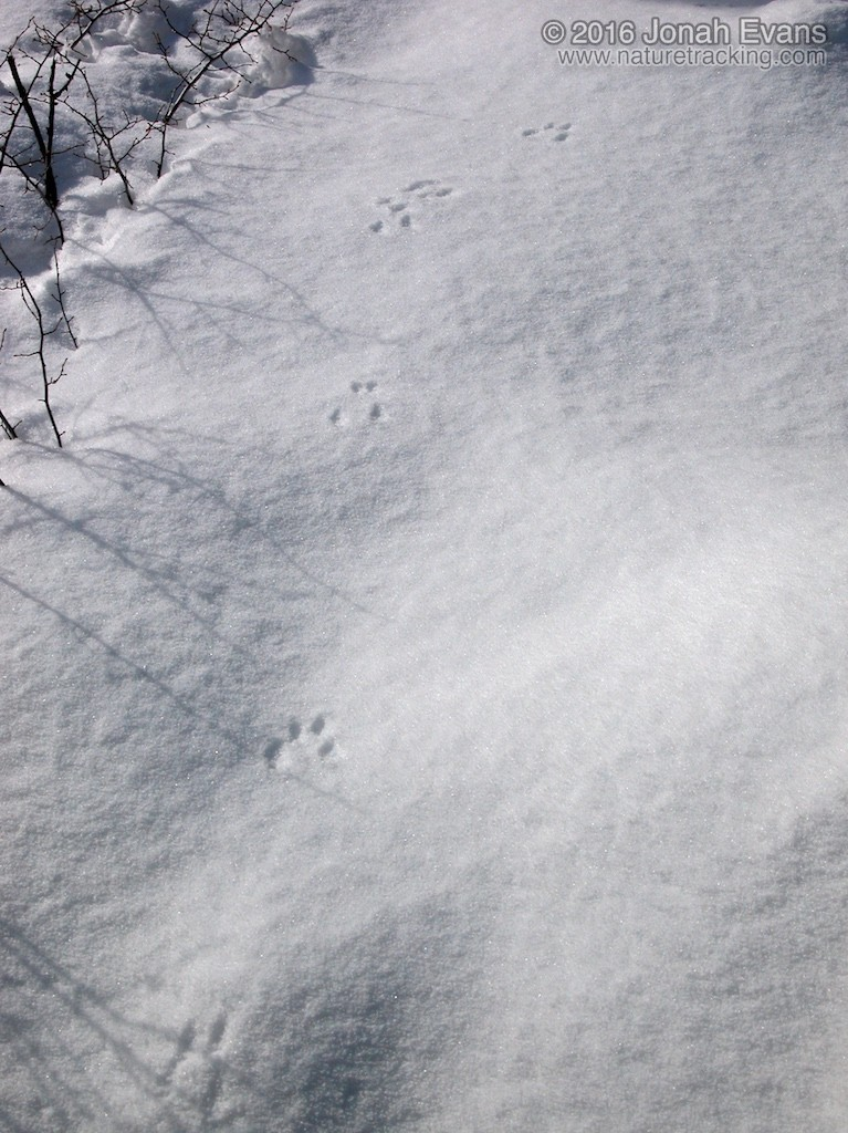 The blocky bounding pattern of a red squirrel in snow heading toward the camera.
