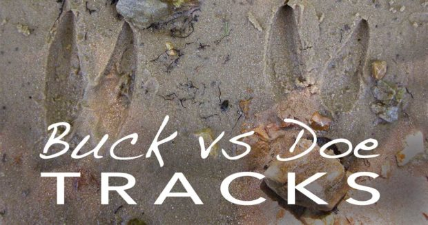 How to Tell Buck from Doe Tracks