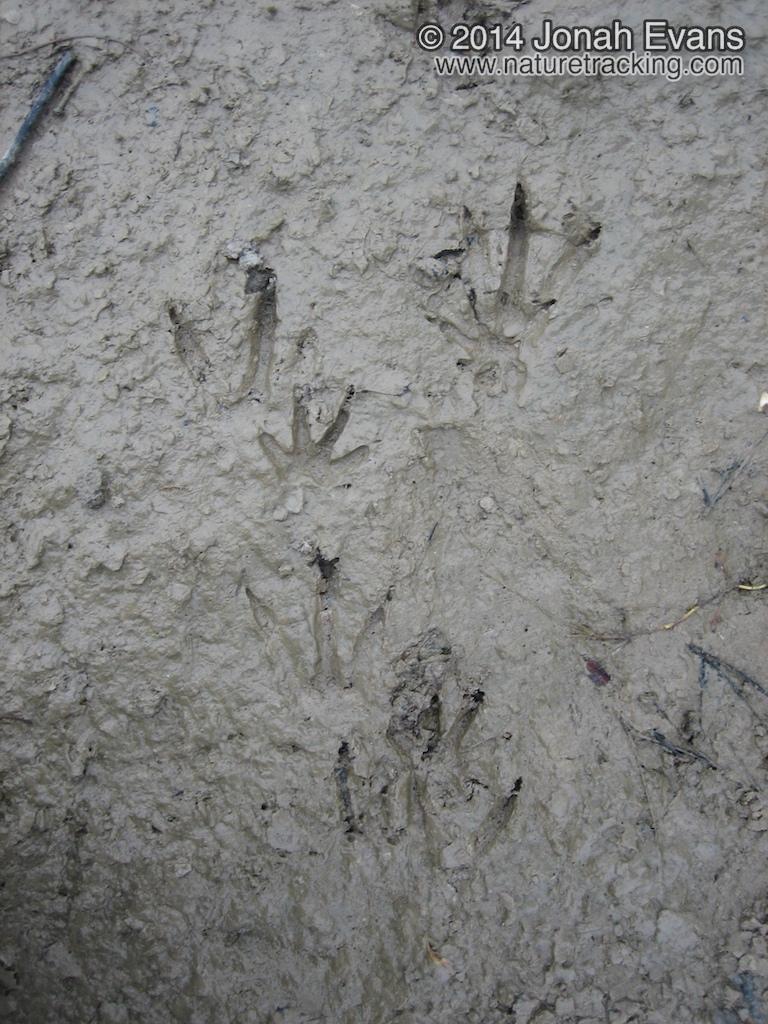 Nutria Tracks