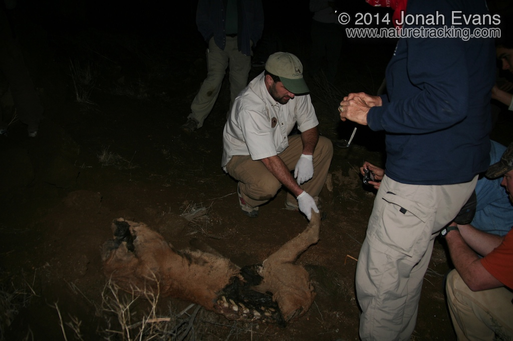 Mountain Lion Carcass