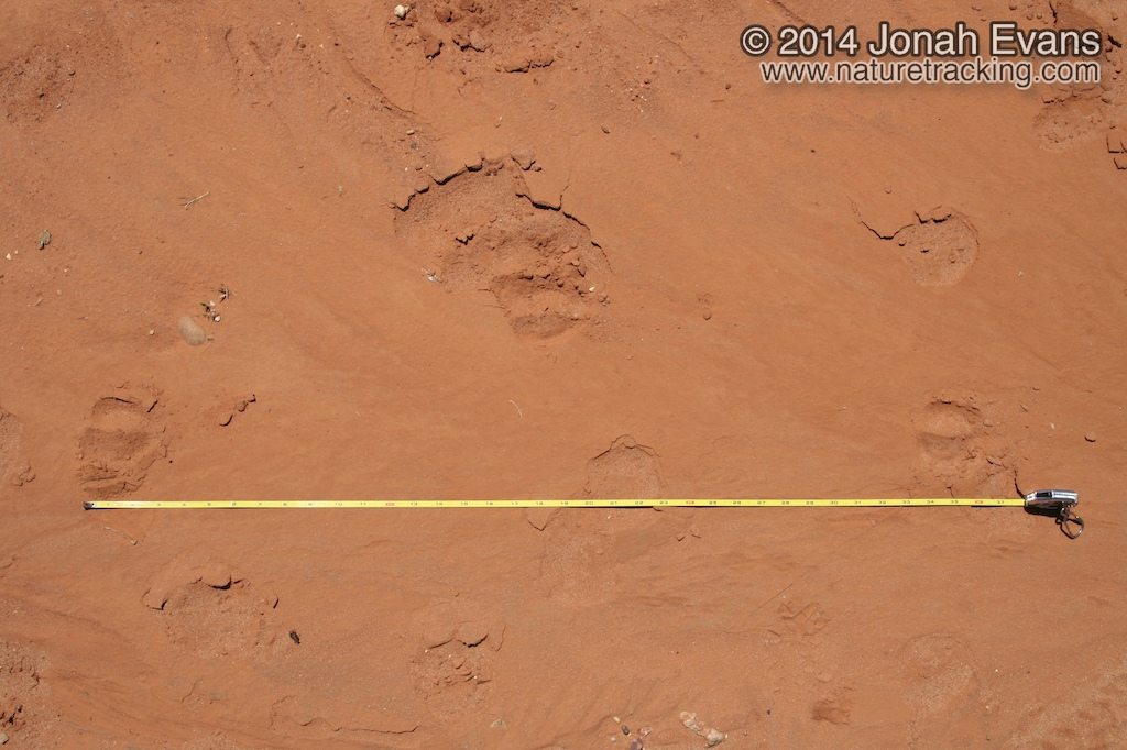 Calf Tracks