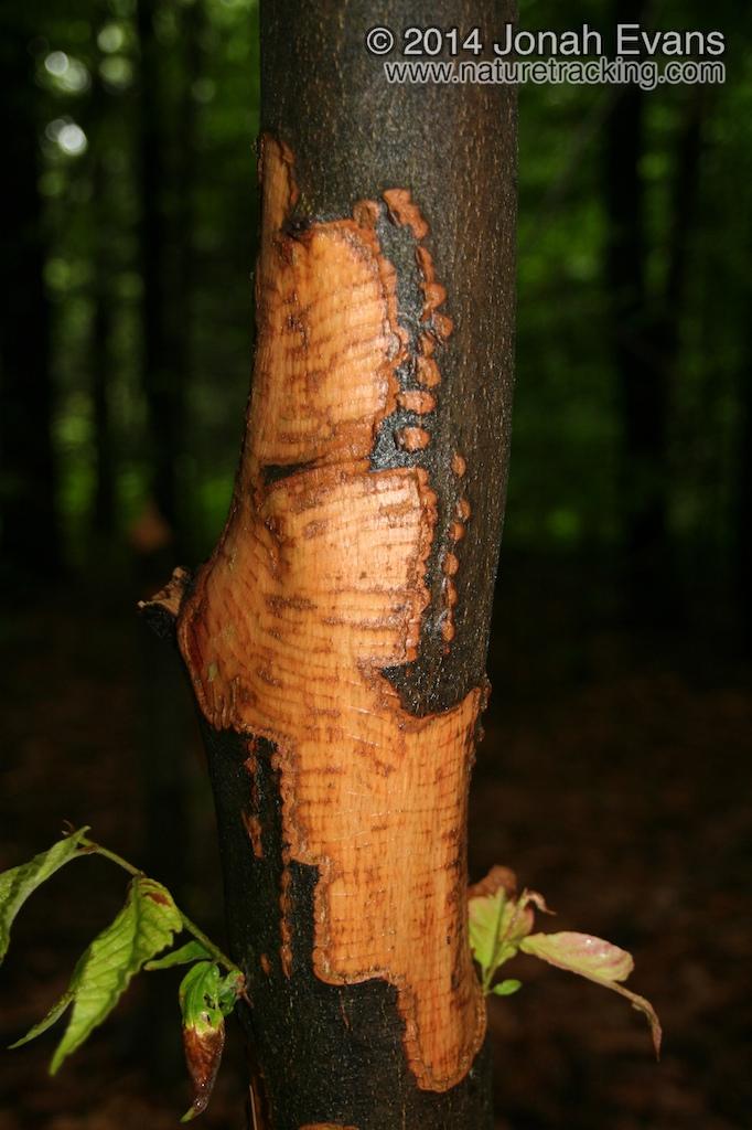 Beaver Feeding Sign