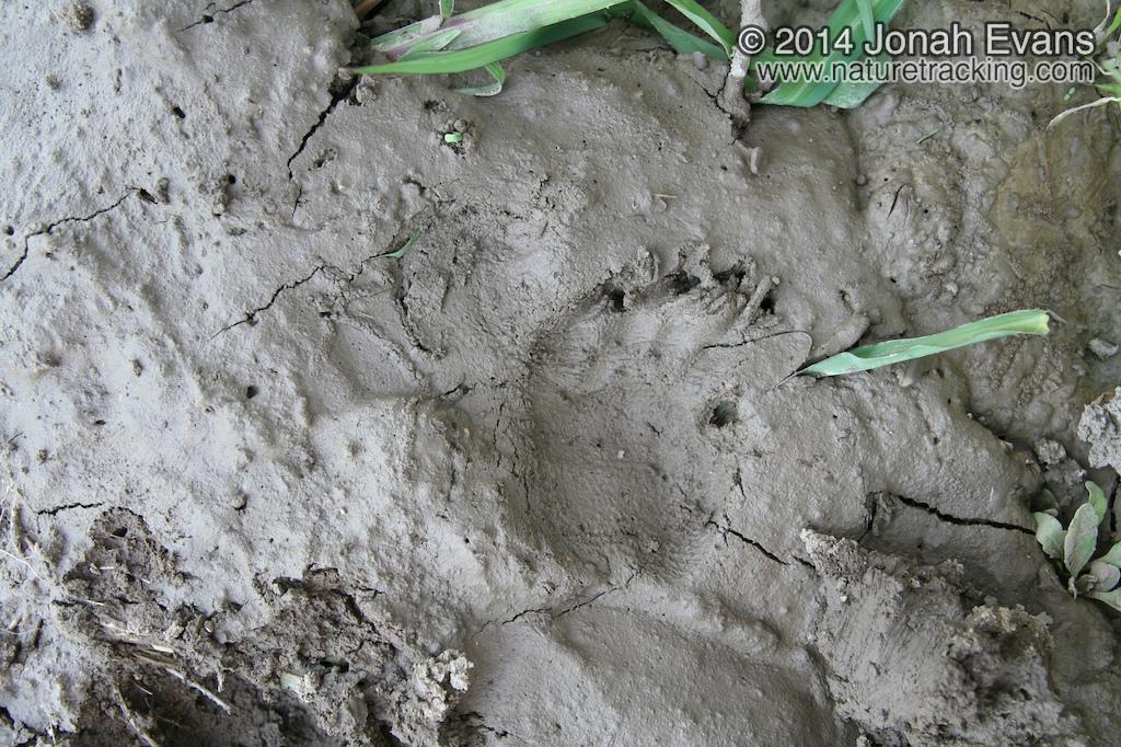 Porcupine Tracks