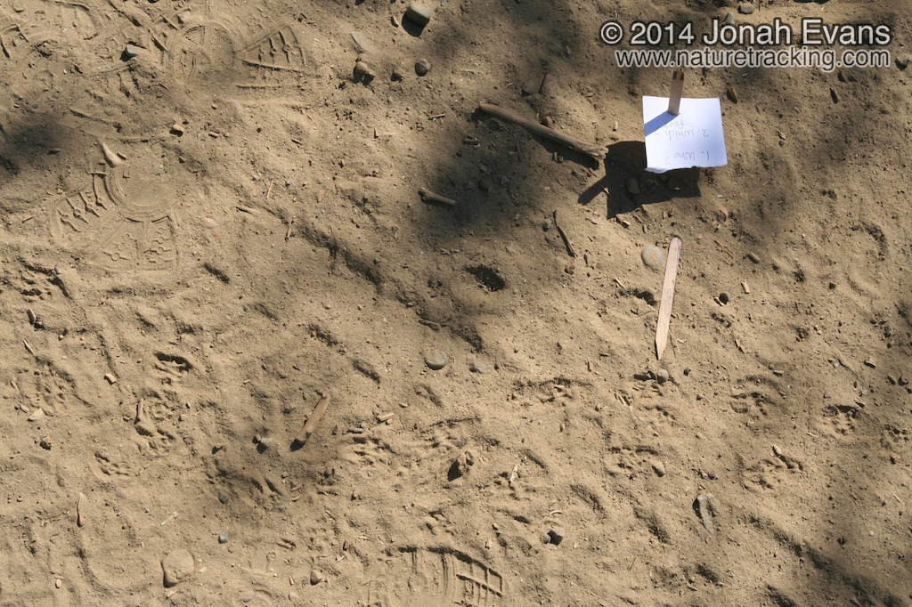 California Ground Squirrel Tracks