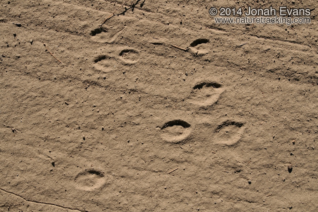 Cottontail Tracks 6