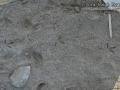 Black-bellied Plover Tracks