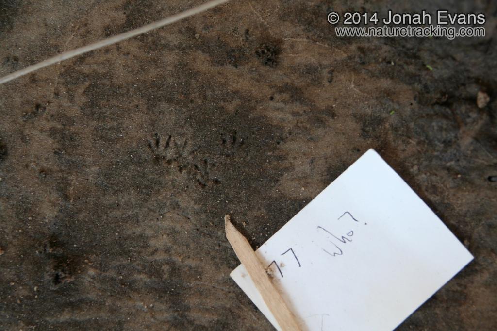 Marsh Rice Rat Tracks?