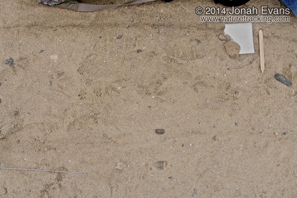 Rock Dove Tracks