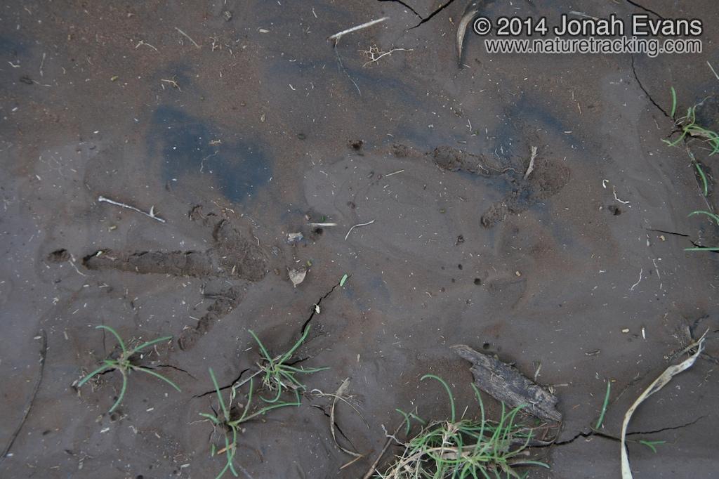 Turkey Vulture Tracks