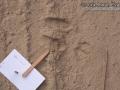 Desert Cottontail Tracks