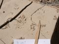 Hog-nosed Skunk Tracks