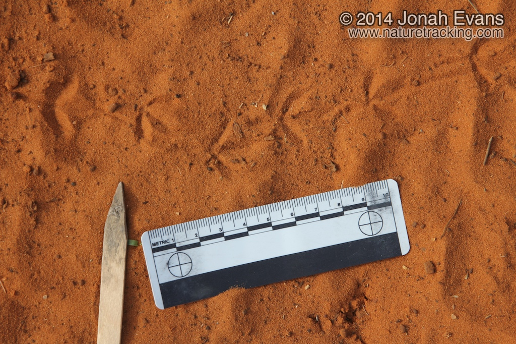 Ground Dove Tracks