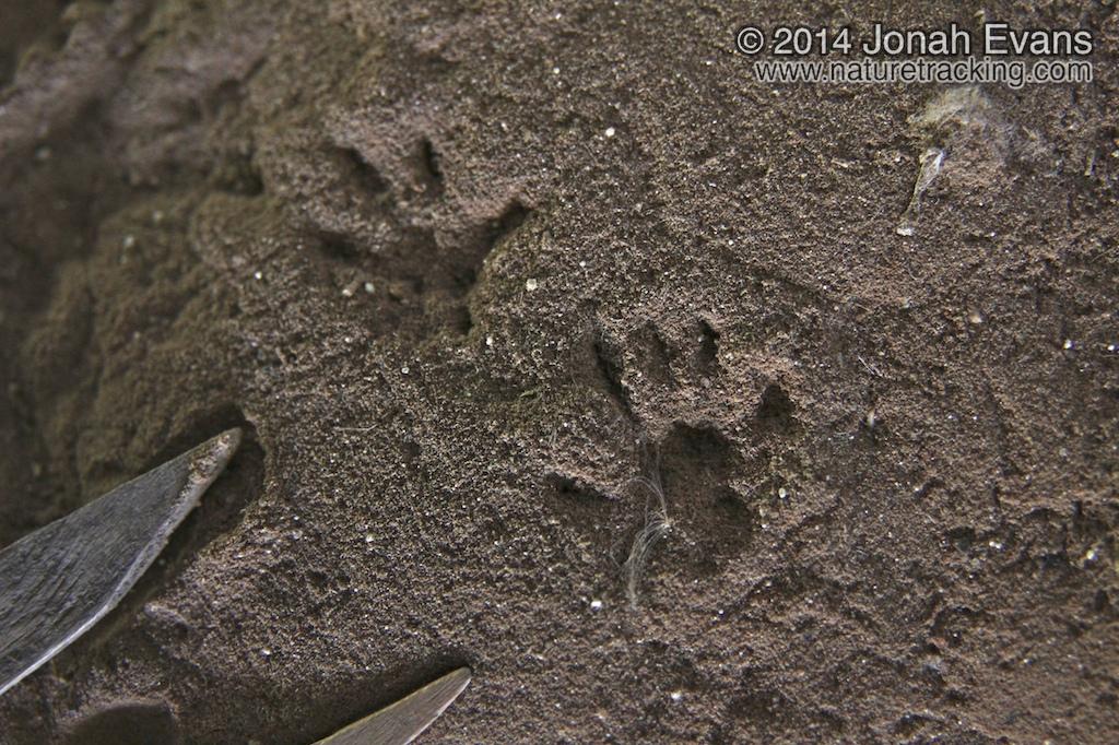 Rat Tracks