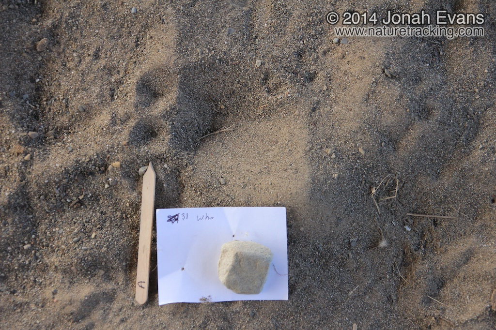 Deer Track with Dewclaws