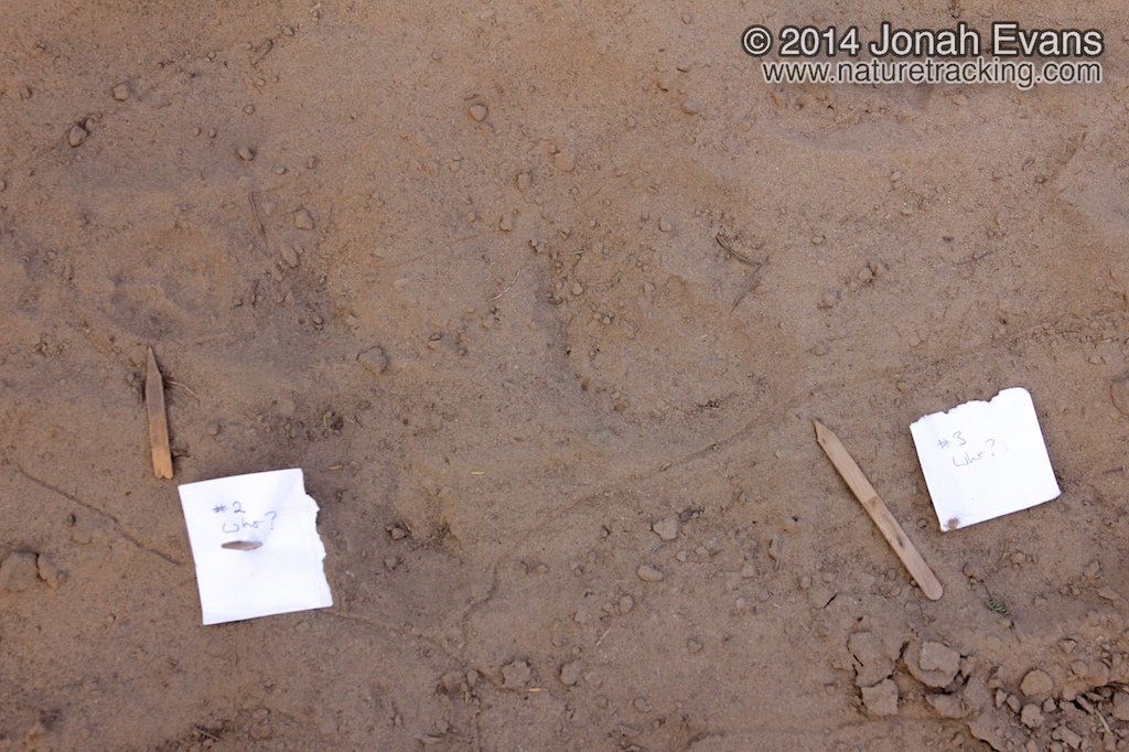 Bobcat Tracks