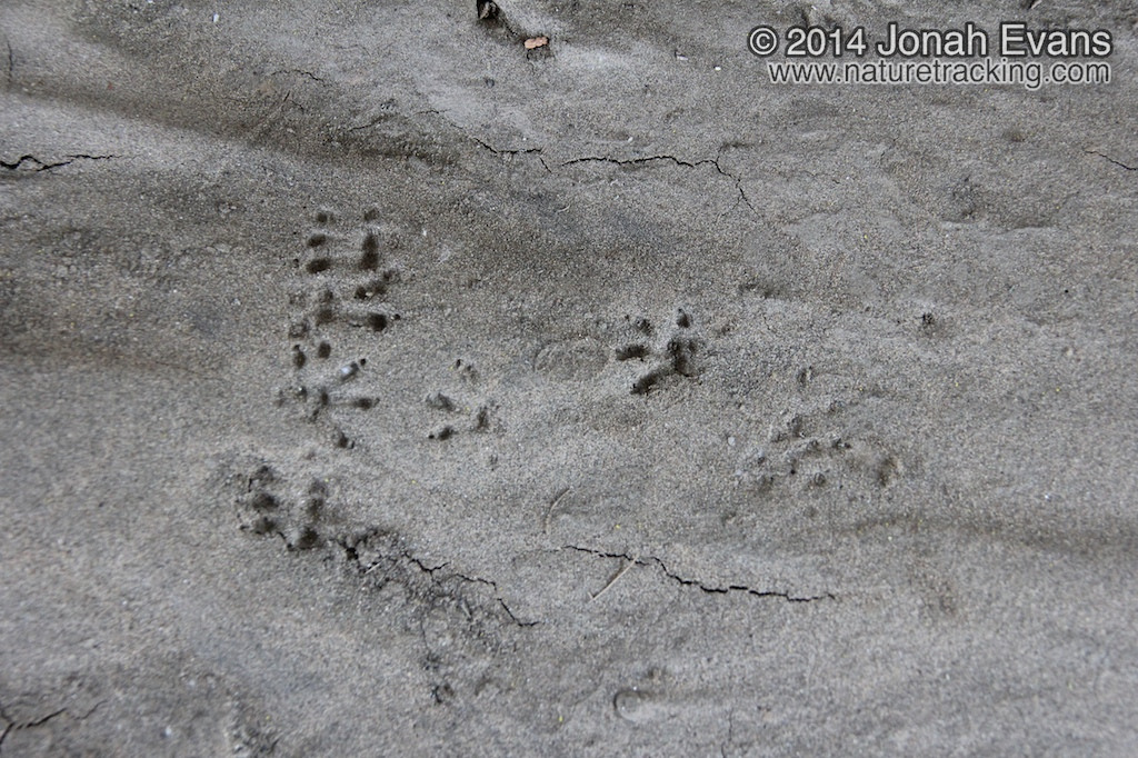 Black Rat Tracks