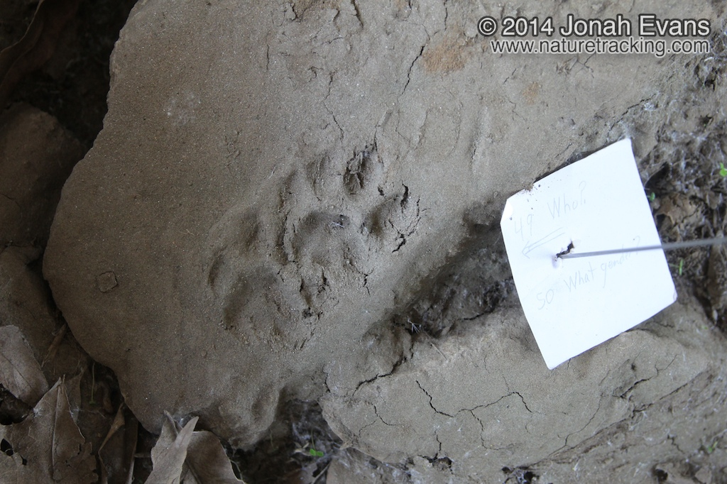 Bobcat Tracks (Male)