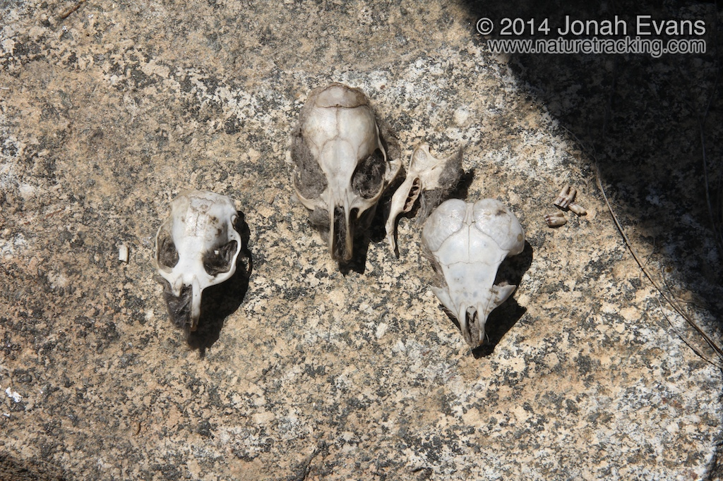 Gopher, Woodrat, & K-rat skulls