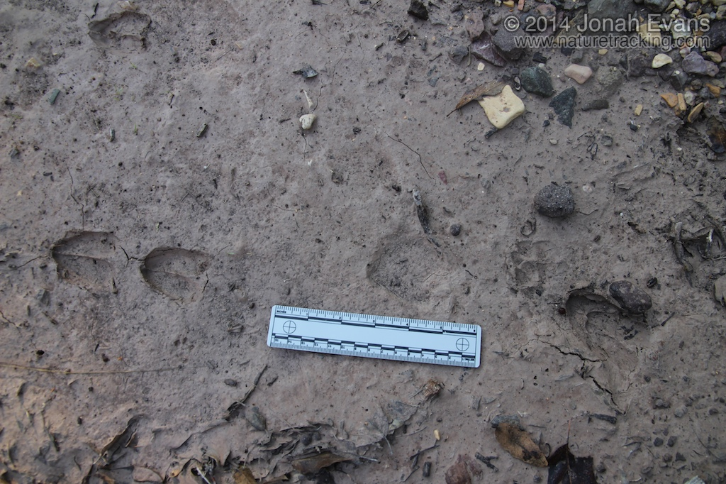Carmen White-tailed Deer Tracks