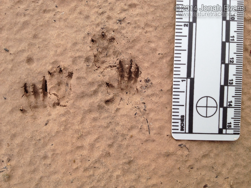 Hispid Cotton Rat Tracks
