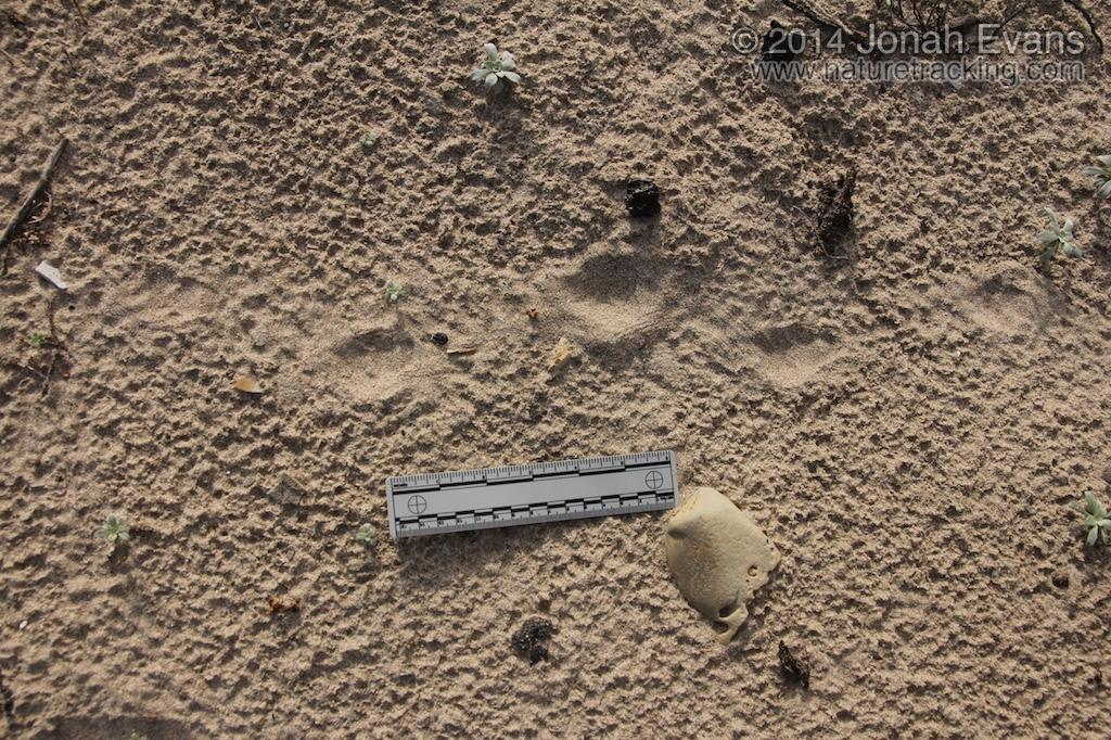 Striped Skunk Tracks (1)
