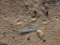 Striped Skunk Tracks (1)