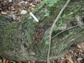 Woodrat Scat