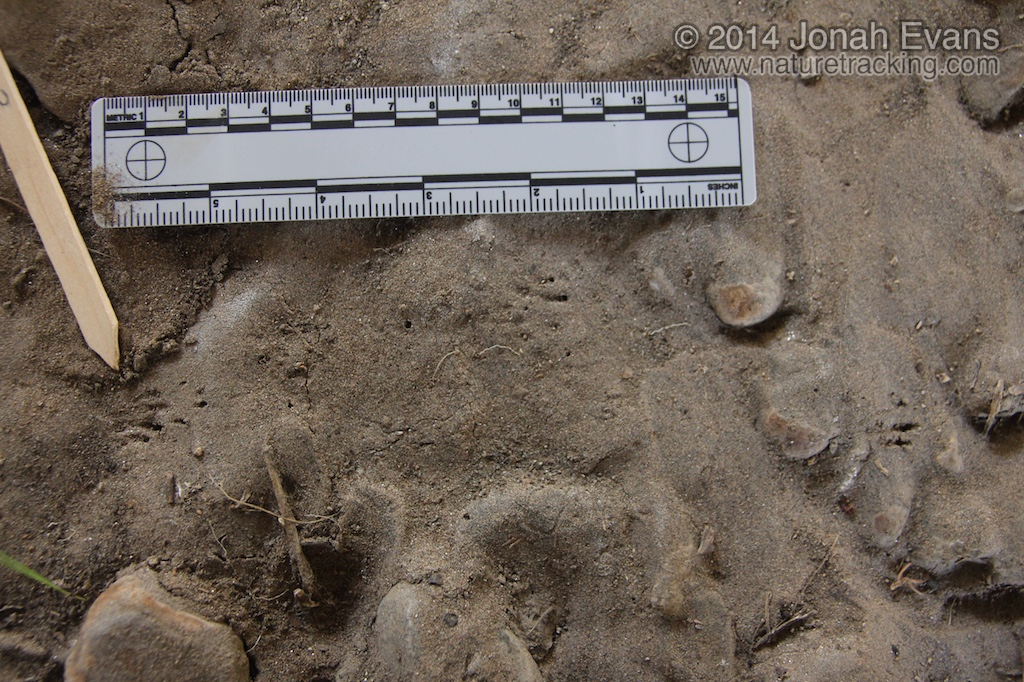 Pocket Gopher Tracks (1)