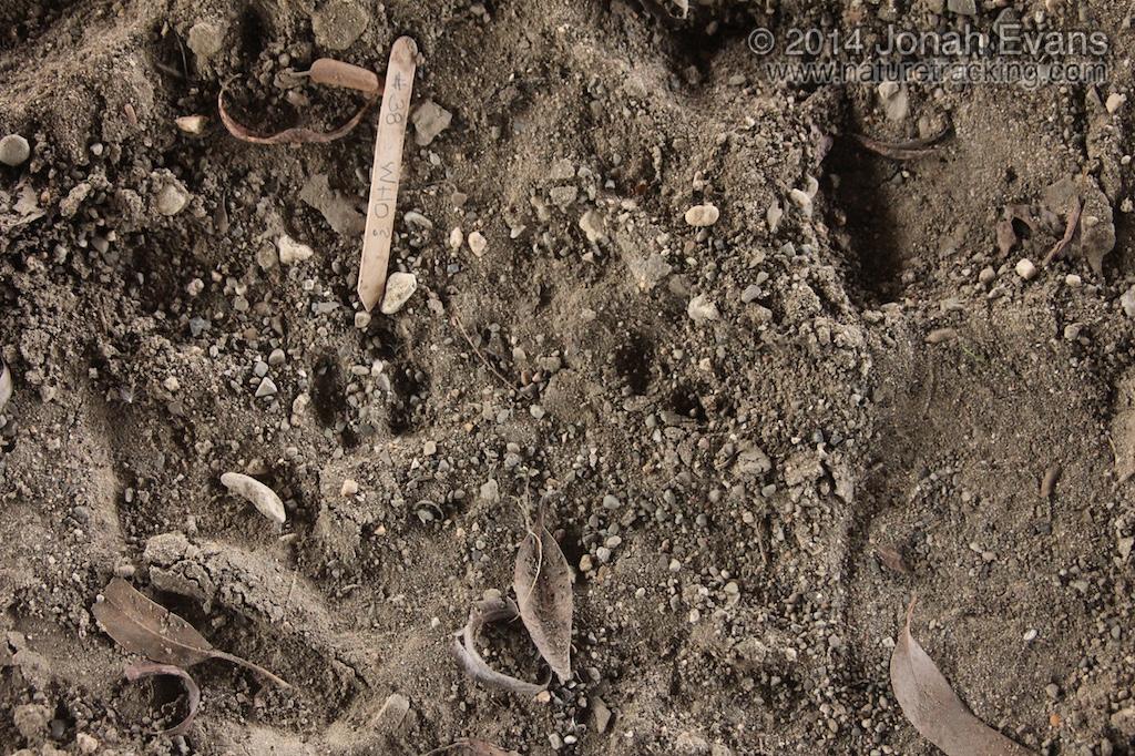 Bobcat Tracks (1)