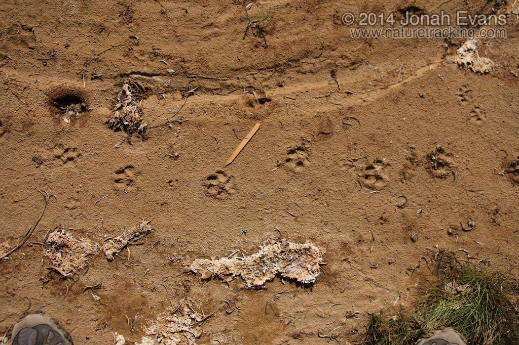 Coyote Tracks (1)