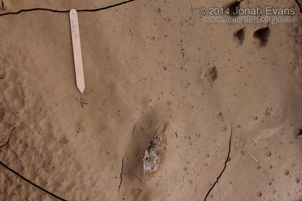 Vole Tracks & Cottontail Tracks