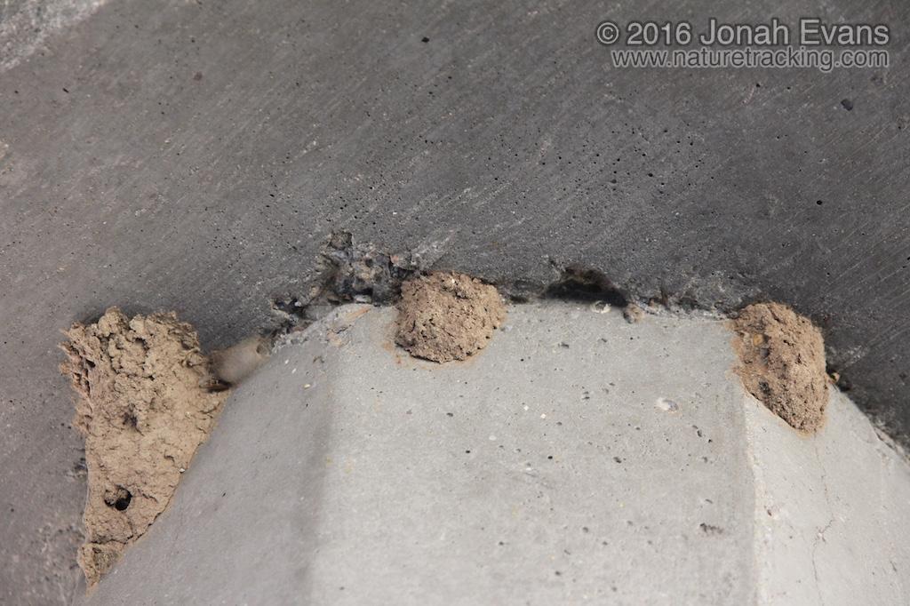 Mud Dauber Nests
