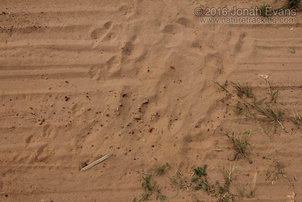 Cottontail Dust Bath