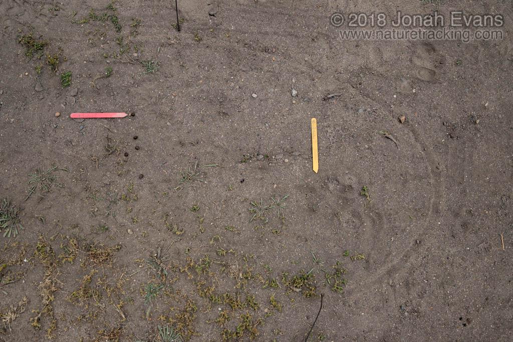 Rabbit Scat and Dog Track