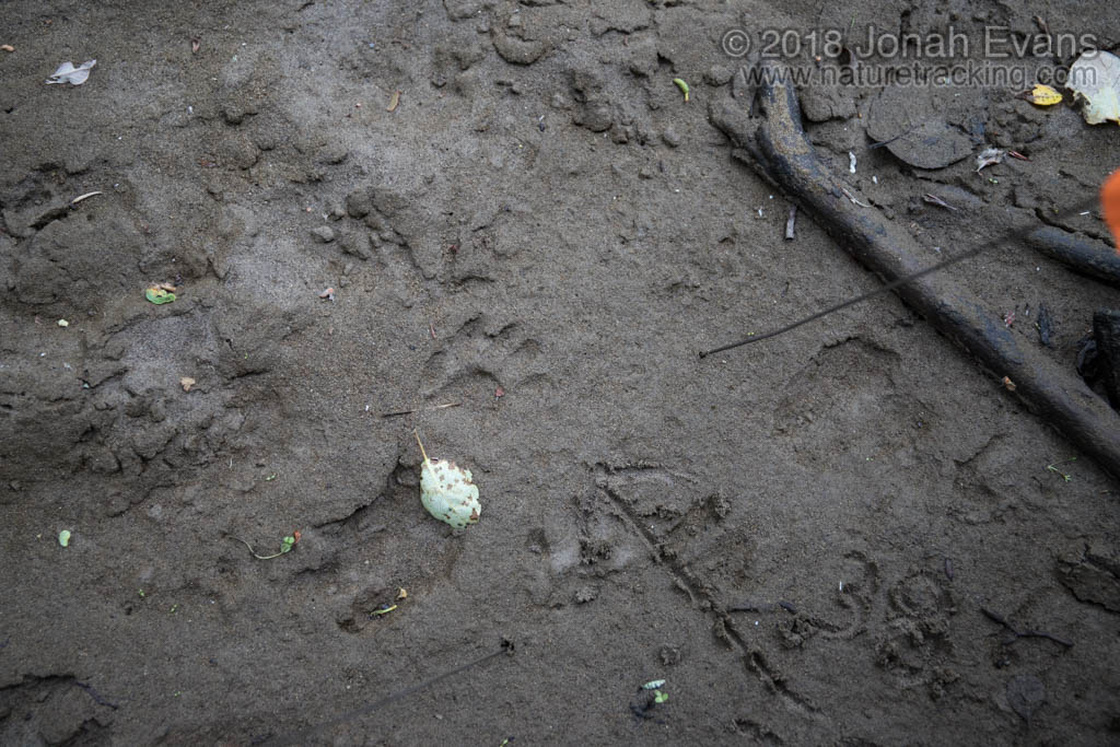 Raccoon Right Hind Track