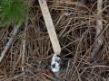 Vole Skull in Owl Pellet