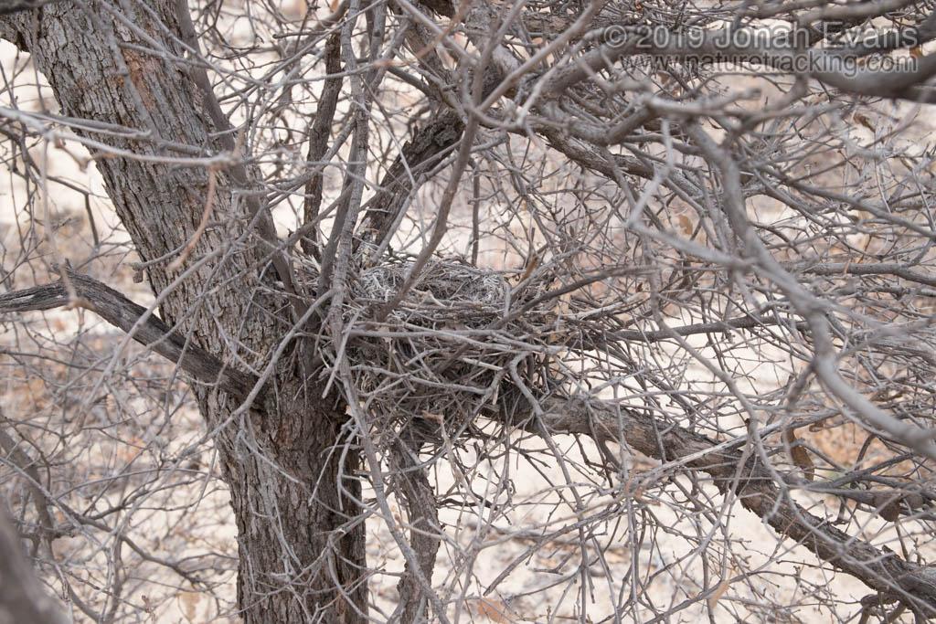 Loggerhead Shrike Nest