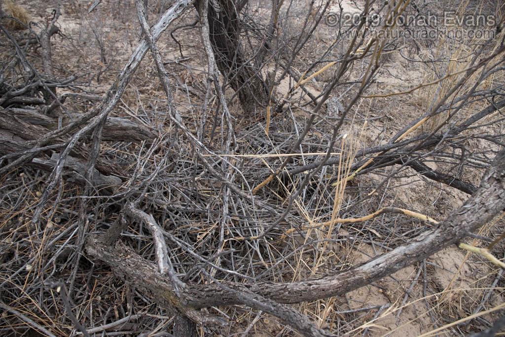 Woodrat Nest and Feeding