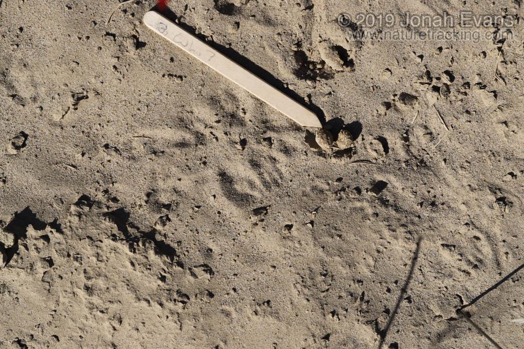 Rabbit Scat