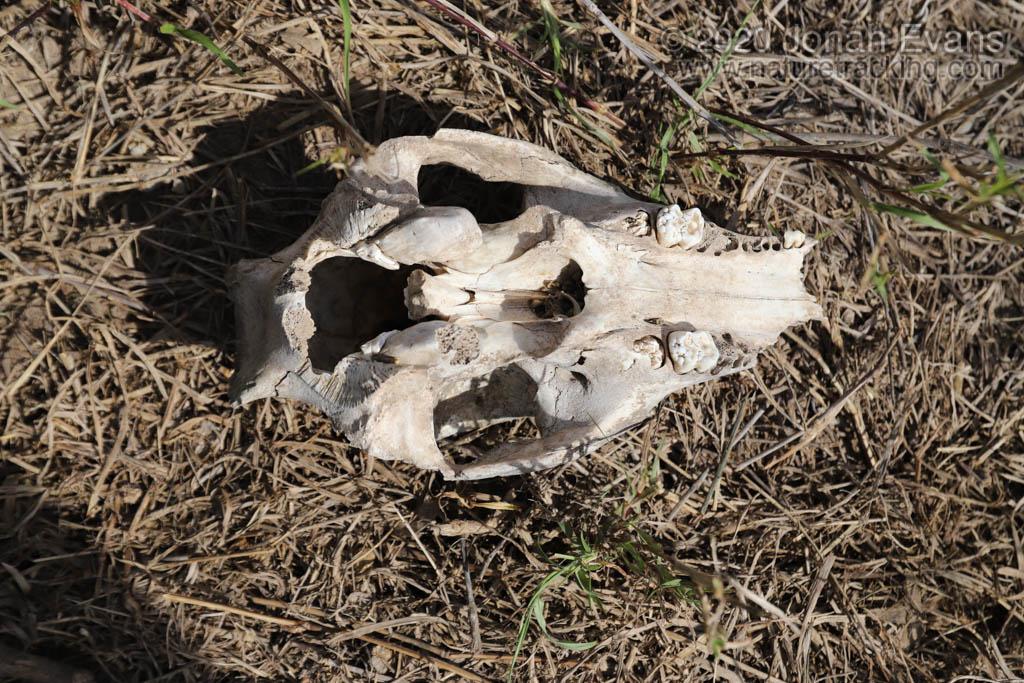 Juvenile pig skull