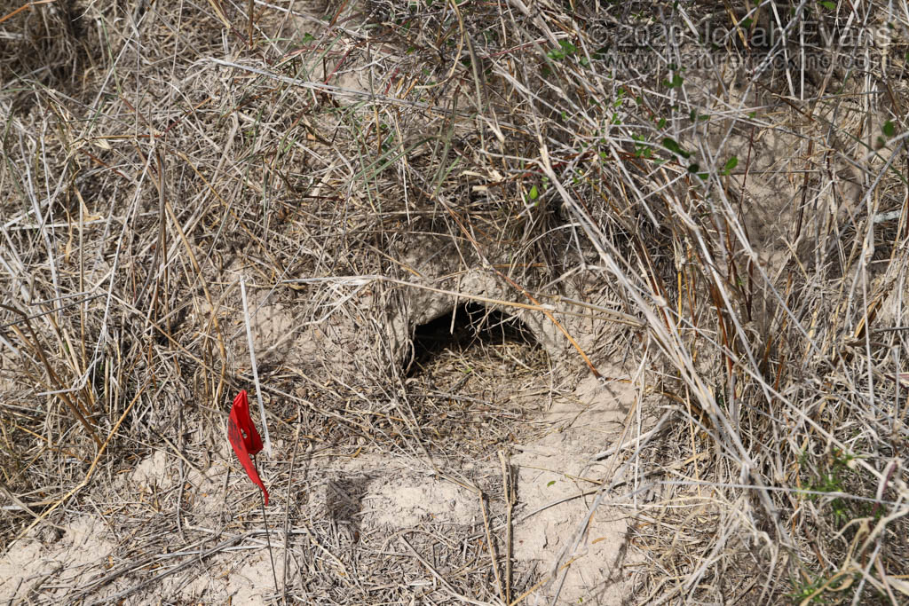 Texas tortoise burrow