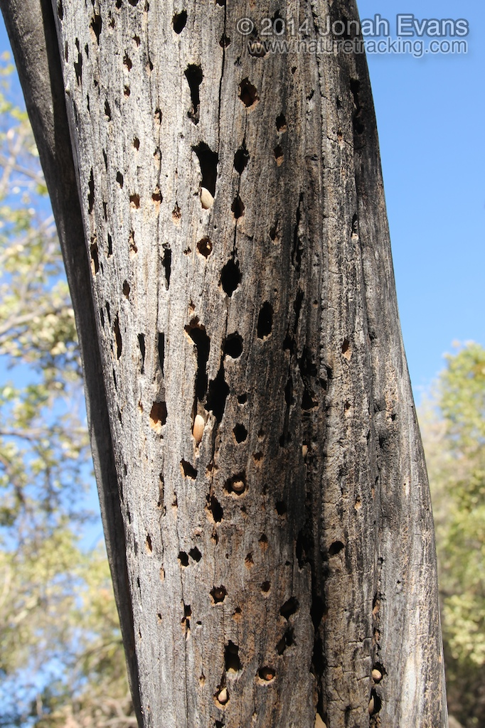 Acorn Woodpecker Tree
