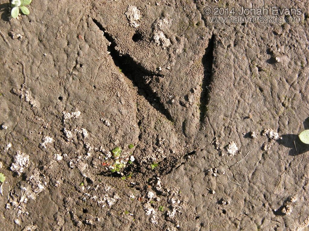 Avocet Tracks