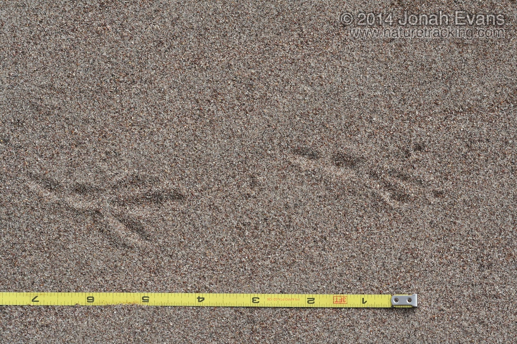 Black-billed Magpie Tracks